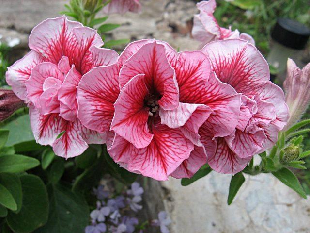 Петуния (Petunia), сорт «Дуо Саммер» (Duo 'Summer')
