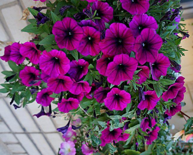 Петуния (Petunia), сорт «Шок Вейв Дип Перпл» (Shock Wavе Deep Purple)