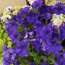 Петуния (Petunia), сорт «Комбо Блу» (Combo Blue)