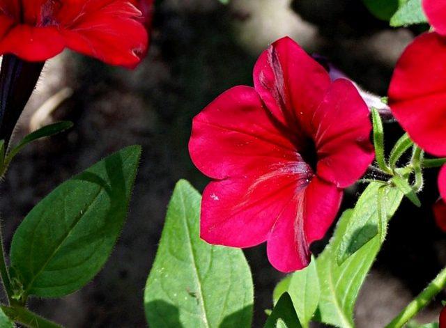 Петуния (Petunia), сорт «Изи Вейв Ред Велюр» (Easy Wave Velour Red)