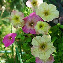 Петуния (Petunia), сорт «Дебонэйр Дасти Роуз» (Debonair Dusty Rose)