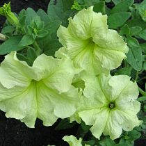 Петуния (Petunia), сорт «Дебонэйр Лайм Грин» (Debonair Lime Green)