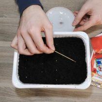 Окуная кончик шпажки в каплю с водой, цепляем семена и раскладываем их рядами