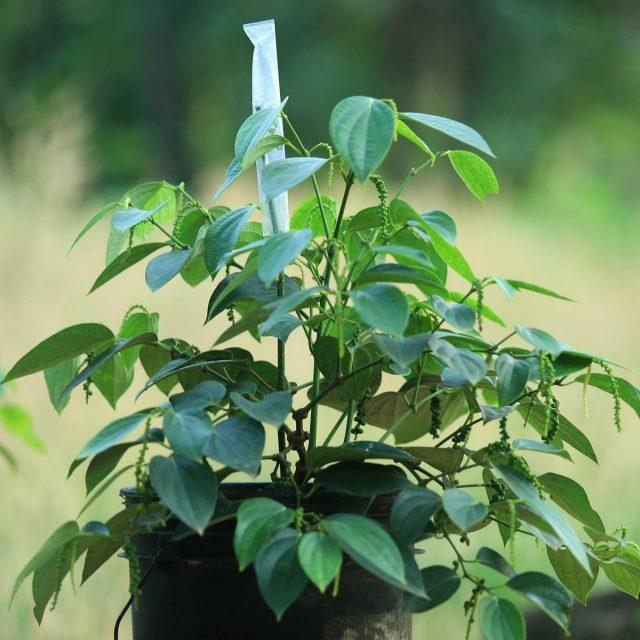 Перец черный, перечная лиана, малабарская ягода (Piper nigrum)
