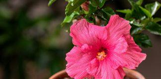 Почему не цветет комнатный гибискус?