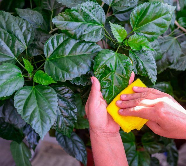 Зимой нужно следить за чистотой листьев гибискуса