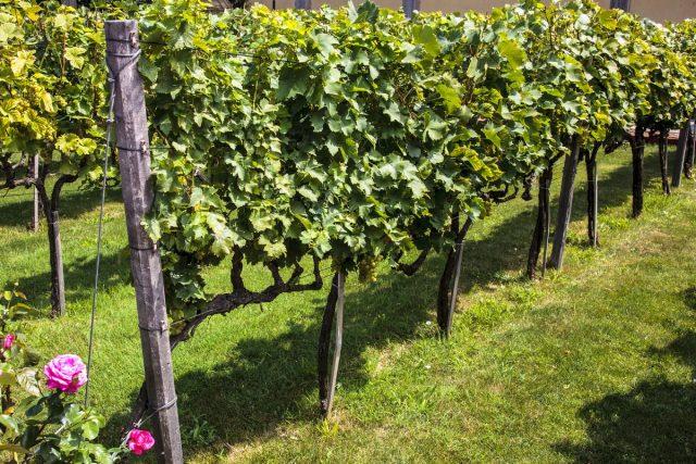 Вертикальное плоское размещение куста винограда с подходом с двух сторон— самое удобное для обработкиВертикальное плоское размещение куста винограда с подходом с двух сторон— самое удобное для обработки