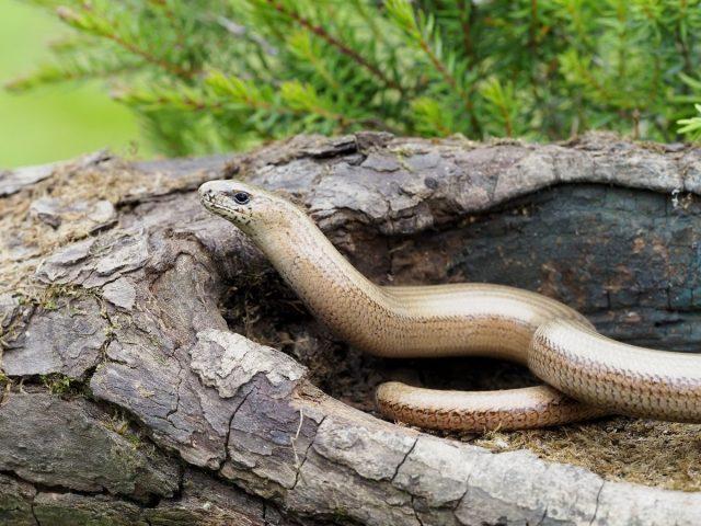 Ящерицы похожие на змей — веретеница и желтопузик