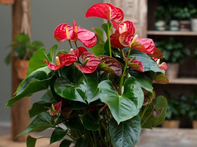 10 правил выращивания антуриума для длительного цветения
