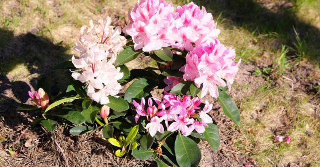 Ухоженный рододендрон цветет особенно красиво
