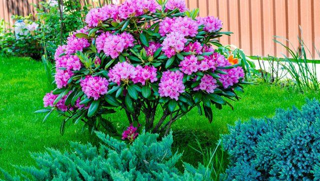 Куст рододендрона в композиции сада