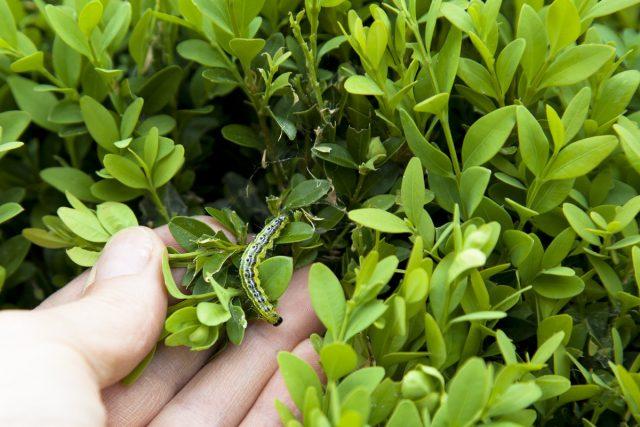 Выращивая у себя на участке самшит, вы должны постоянно «держать руку на пульсе»