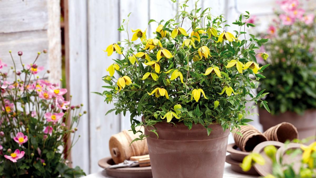 Ломонос тангутский «Литтл Лемонс» (Clematis tangutica 'Little Lemons')