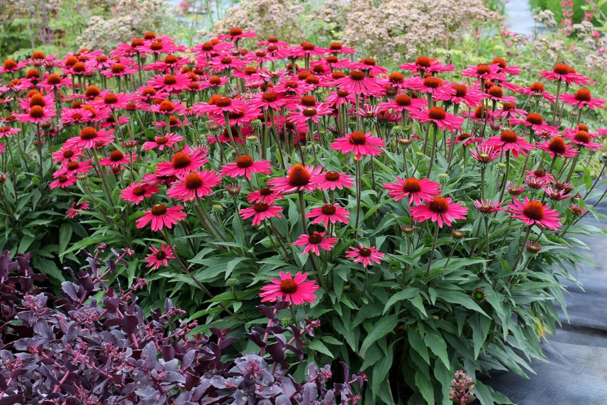 Эхинацея пурпурная «Кисмет Распберри» (Echinacea purpurea 'KISMET® Raspberry')