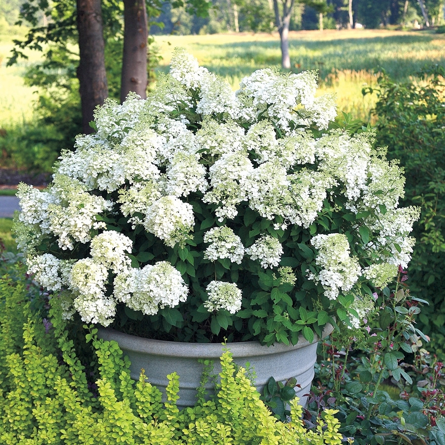 Гортензия метельчатая «Бобо» (Hydrangea paniculata 'Bobo')