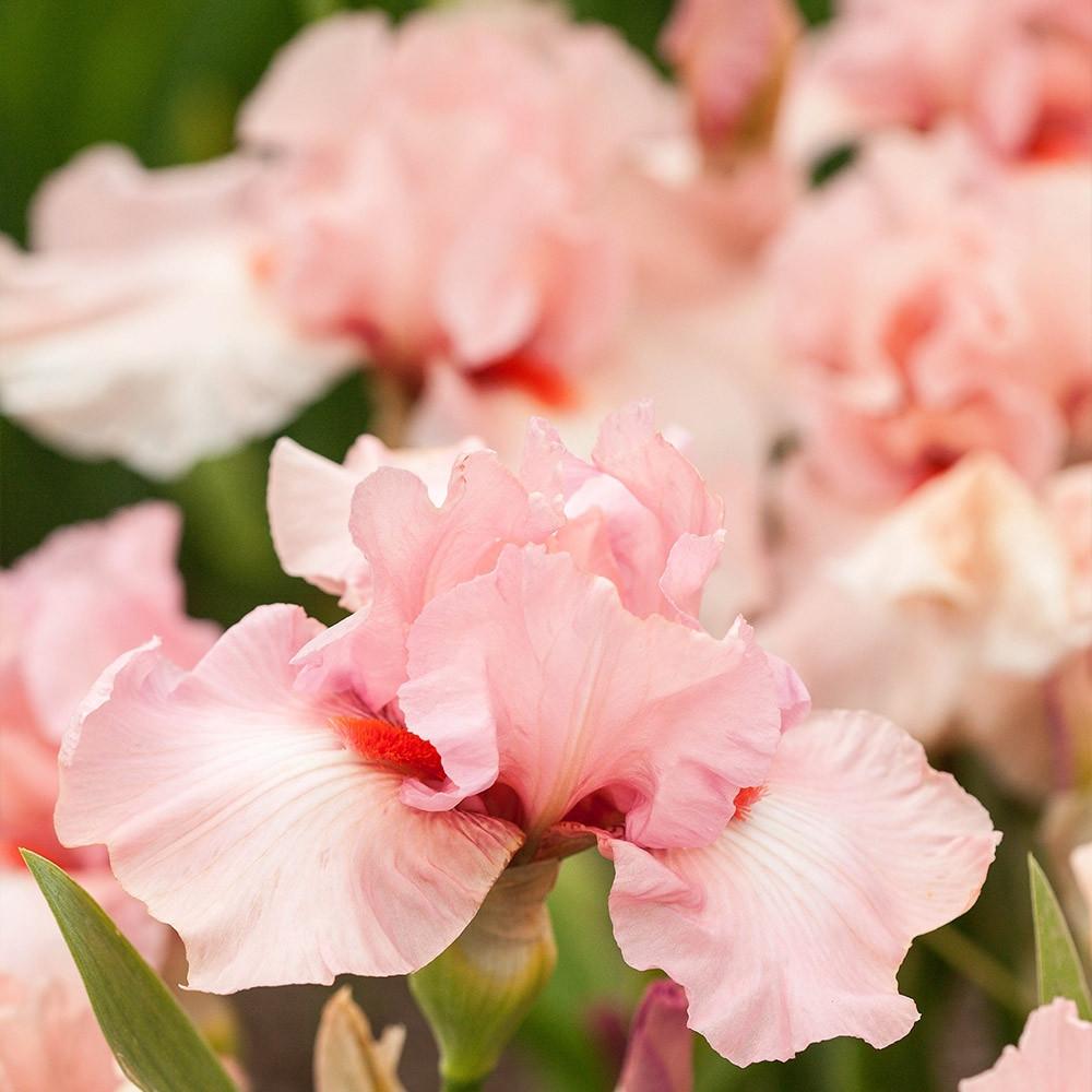 Ирис бородатый «Беверли Силлз» (Iris germanica 'Beverly Sills')