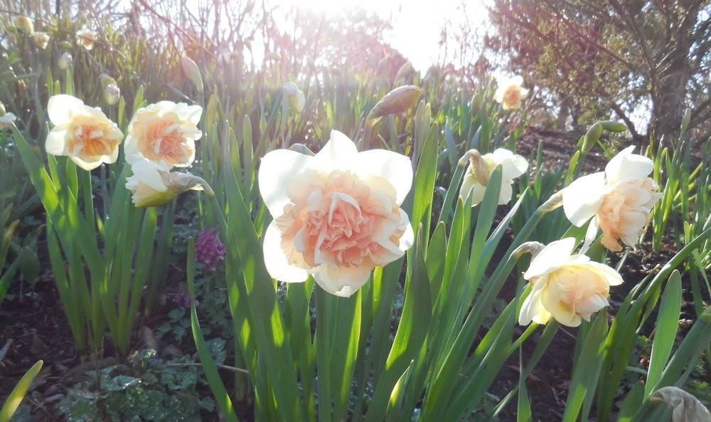 Нарцисс «Флауер Сюрпрайз» (Narcissus 'Flower Surprise')