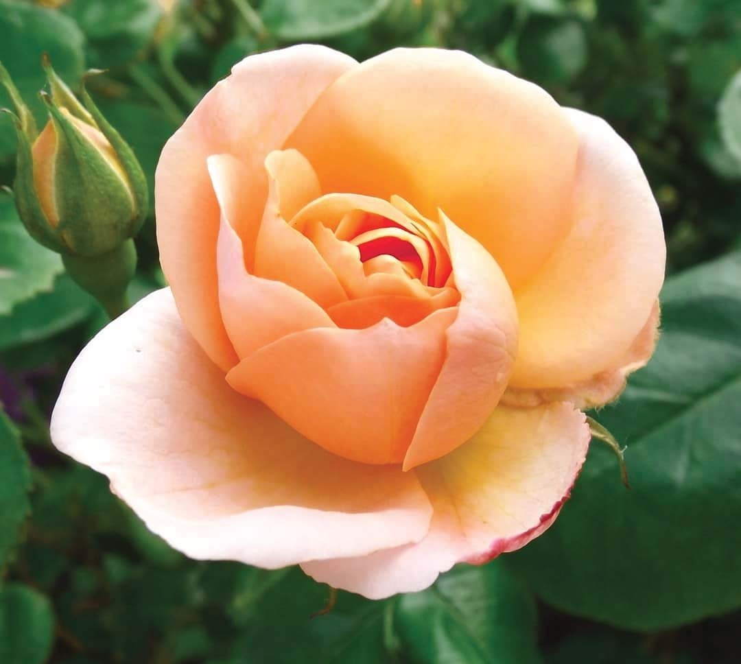 Роза «Чинук Санрайз» (Rosa 'Chinook Sunrise™')
