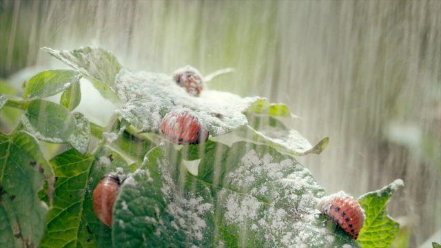 Обработка растения, инфицированного колорадским жуком