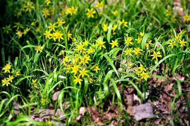 Гусиный лук желтый (Gagea lutea)