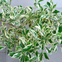 Фикус бенджамина (Ficus benjamina), сорт «Старлайт» (Starlight)