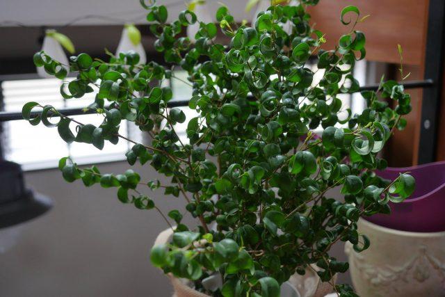 Фикус бенджамина (Ficus benjamina), сорт «Барок» (Barok)