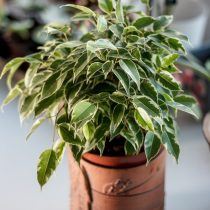 Фикус бенджамина (Ficus benjamina), сорт «Кинки» (Kinky)