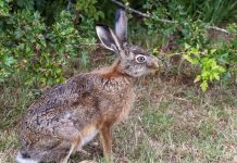 Как защитить участок от набегов зайцев?