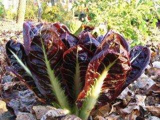 Радиччио, радиккио, или Итальянский цикорий (Cichorium intybus)