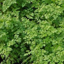 Кервель (Anthriscus cerefolium)