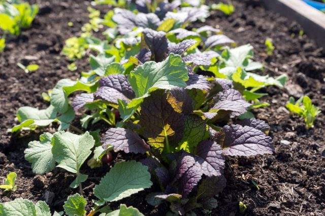 Листовая, или салатная горчица (Brassica juncea)