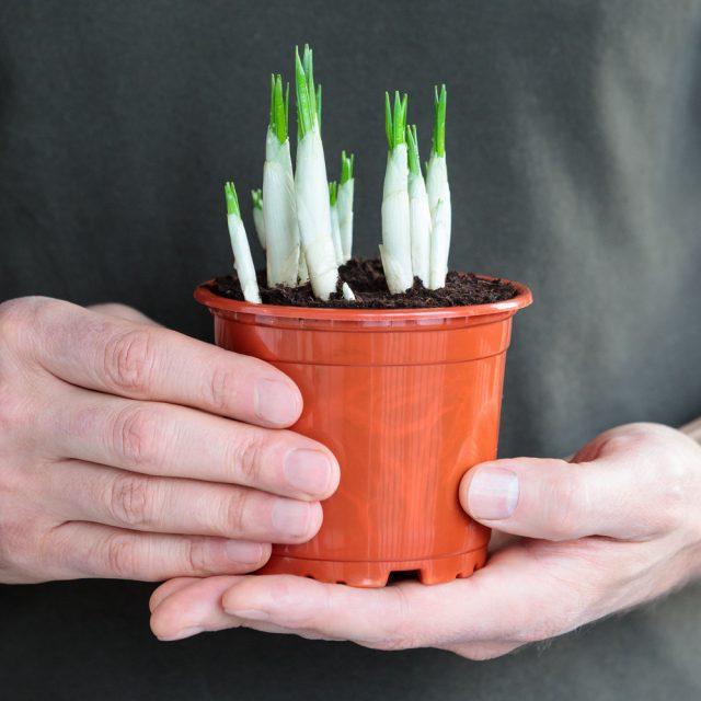 Крокусы с достаточно подросшими цветочными стрелками можно постепенно перемещать на свет и в тепло