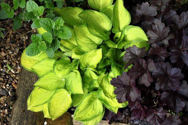 В хостарник можно посадить гейхеры с темными листьями для максимального контраста