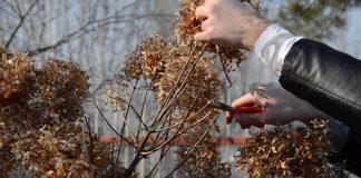 Обрезка гортензии метельчатой: зачем нужна и как проводить правильно?