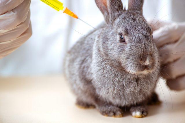 Кроликам необходимо делать вакцинацию от миксоматоза и геморрагической болезни кроликов