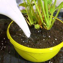 Пересаживаем растение из старой емкости в новую. Устанавливаем цветок посередине горшка, сверху присыпаем слоем грунта. Хорошо проливаем почву водой комнатной температуры.