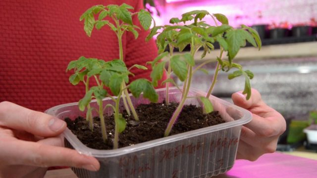 Рассада томатов готова к пикировке и пересадке