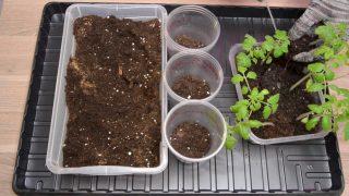 Выньте сеянец томата из общего контейнера и пересадите в отдельную ёмкость
