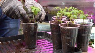 Заглубите сеянец томата минимум до семядольных листочков