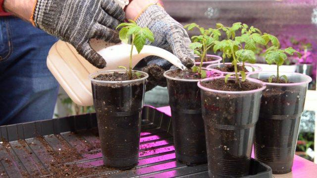 Полейте распикированную рассаду томатов