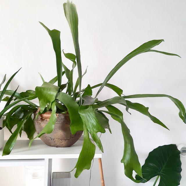 Платицериум стоит разместить так, чтобы листья свешивались с края мебели