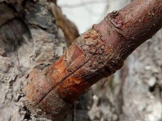 Прижившаяся прививка яблони черенком «в расщеп»