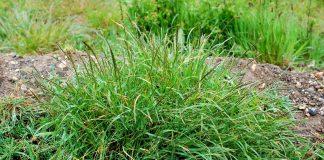 Пырей — не только злостный, но и очень полезный сорняк