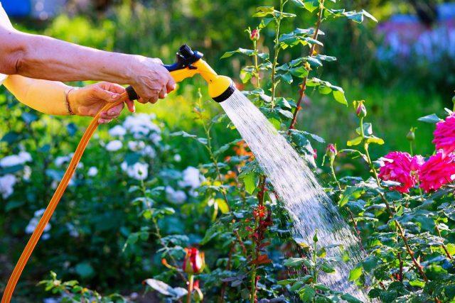 Летом за восстанавливающимся кустом розы необходимо производить такой же уход, как и за остальными