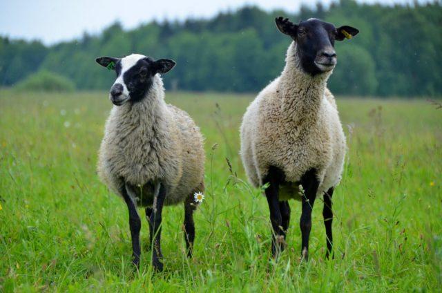 Романовские овцы — особенности породы и содержания