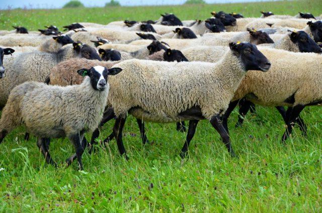 Во время содержания на пастбище летом необходимо обеспечить овцам чистую воду 2-3 раза в день