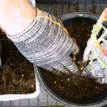 Засыпаем саженец грунтом и обильно проливаем почву водой