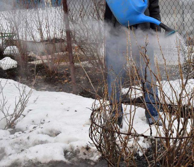 Полить кустарники кипятком— один из самых простых и старых способов защиты растений