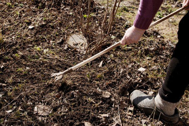 Сбор и уничтожение мусора под кустами необходимы всем растениям