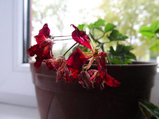 К быстрому увяданию цветков могут привести любые большие проблемы с уходом и температурами